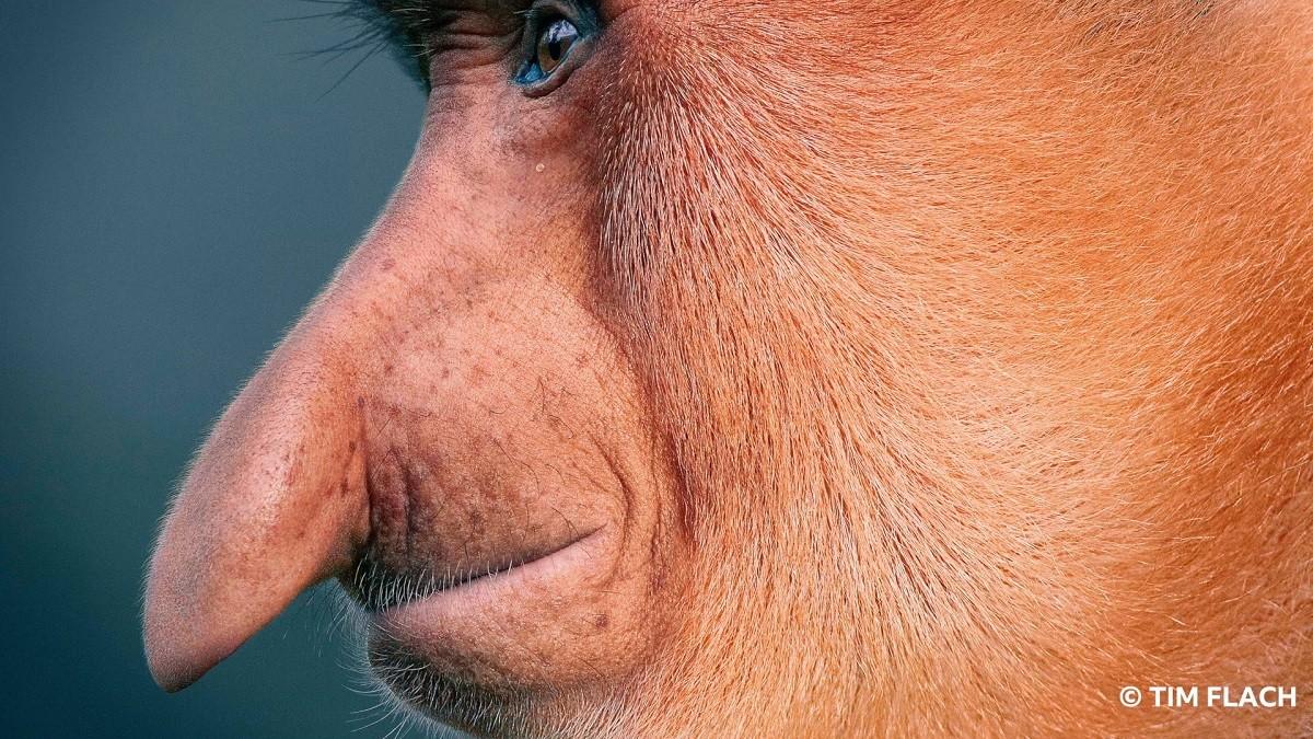 Animais em extinção (Foto: Tim Flach)
