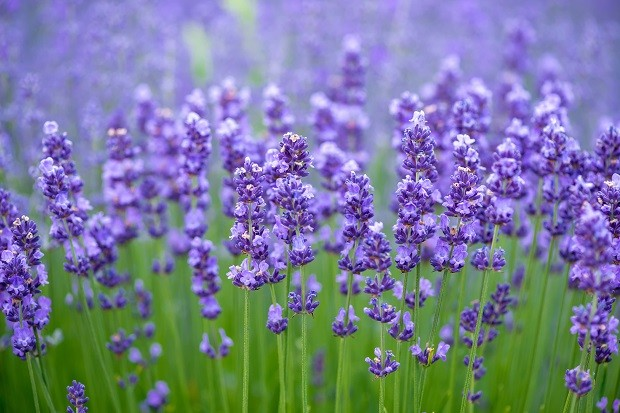 Meadow of lavender. Nature composition (Foto: Getty Images/iStockphoto)