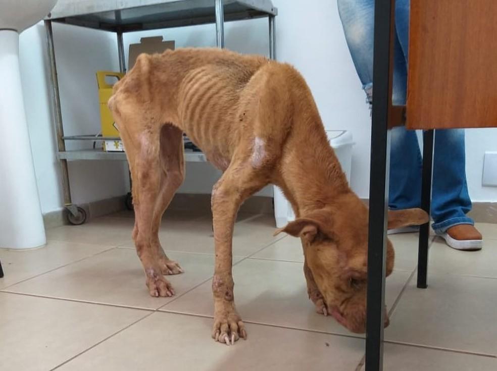 Segundo veterinários, a cachorra da raça pitbull estava extremamente debilitada por falta de alimentação — Foto: Polícia Civil/Divulgação
