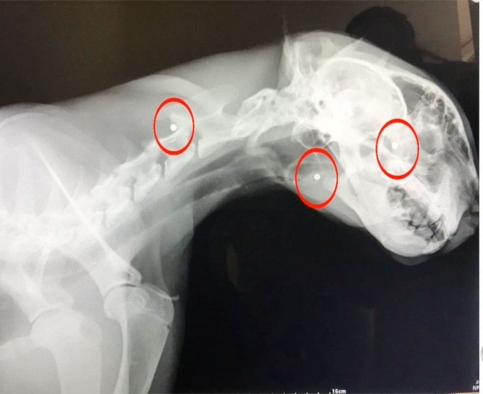 Radiografias identificaram que a onça estava com vários chumbinhos pelo corpo (Foto: Reprodução/TVCA)