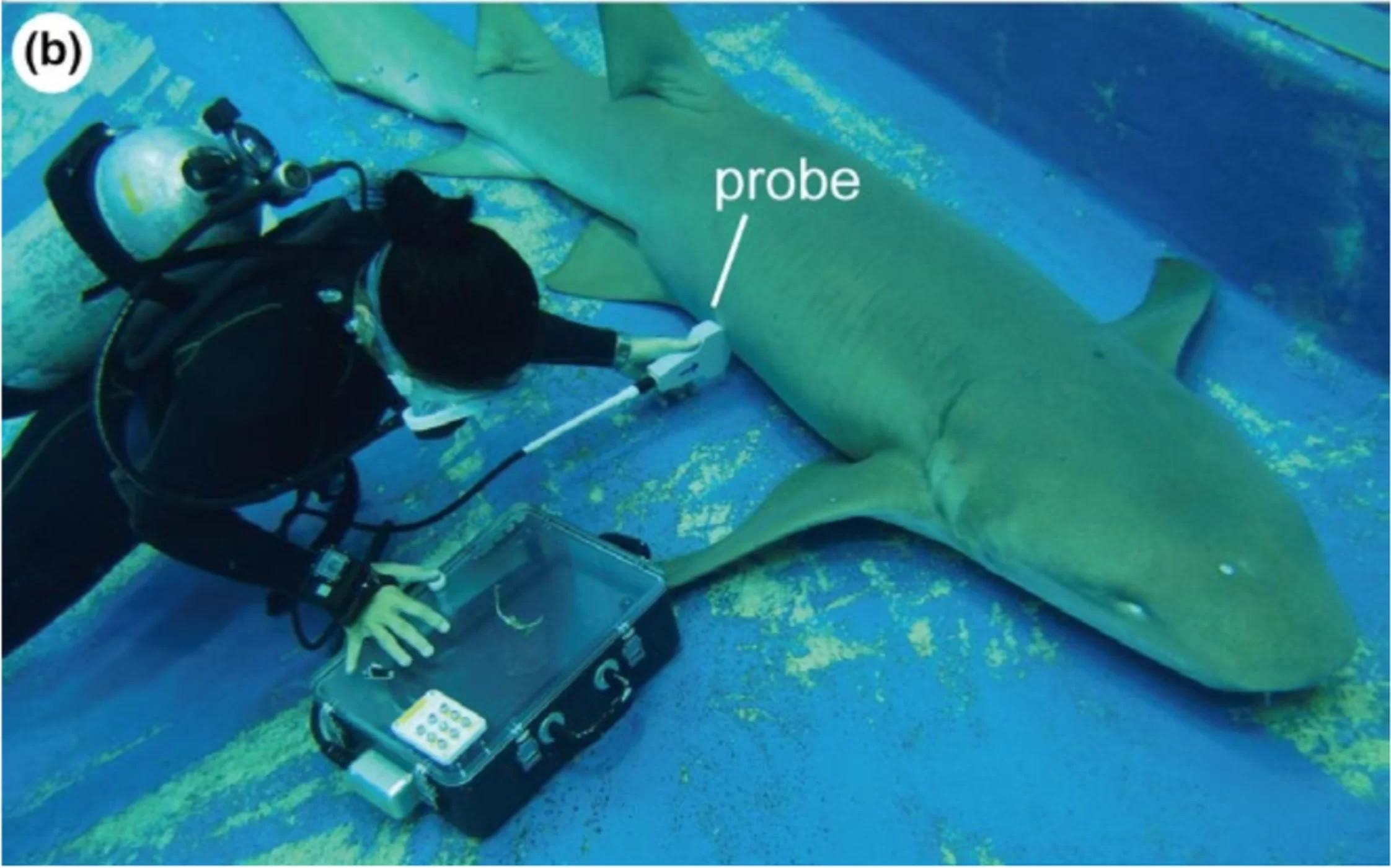 Máquina de ultrassom usada para estudar os tubarões (Foto: Ethology)
