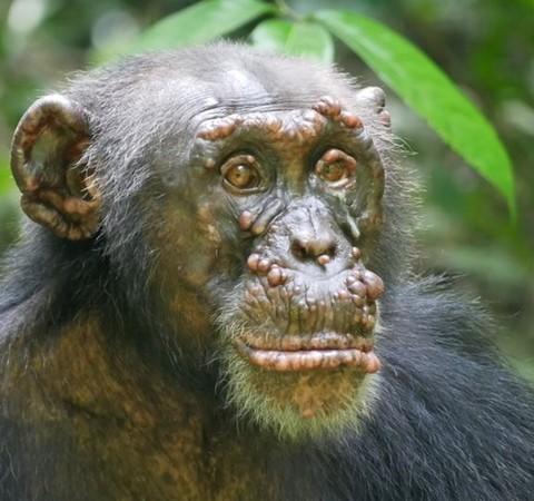 Hanseníase é identificada em chimpanzés selvagens pela primeira vez