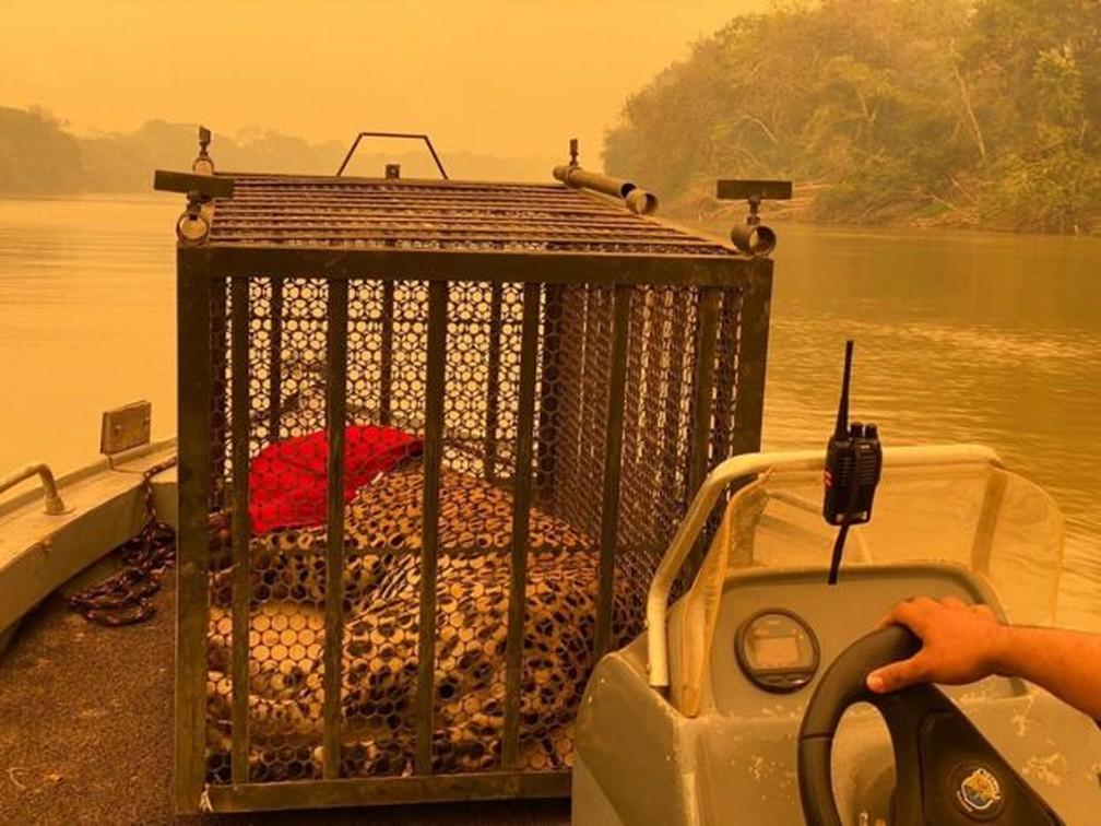 Onça-pintada foi resgatada no Parque Estadual Encontro das Águas, no Pantanal, na última sexta-feira (11) — Foto: Ministério da Defesa/via BBC