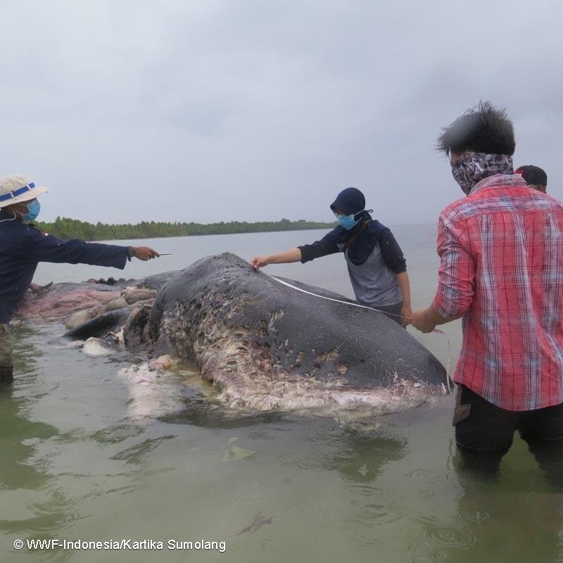 Cachalote morto tinha nove metros de comprimento (Foto: WWF-Indonesia/Kartika Sumolang)
