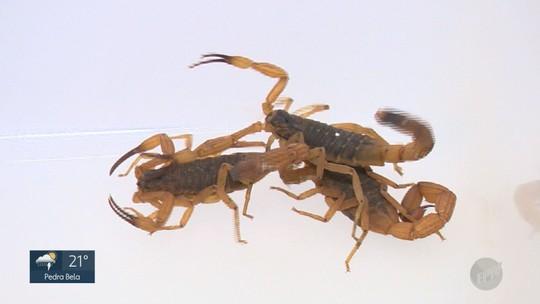 Incidência de escorpiões na região de Campinas aumenta com uso incorreto de inseticida, aponta especialista