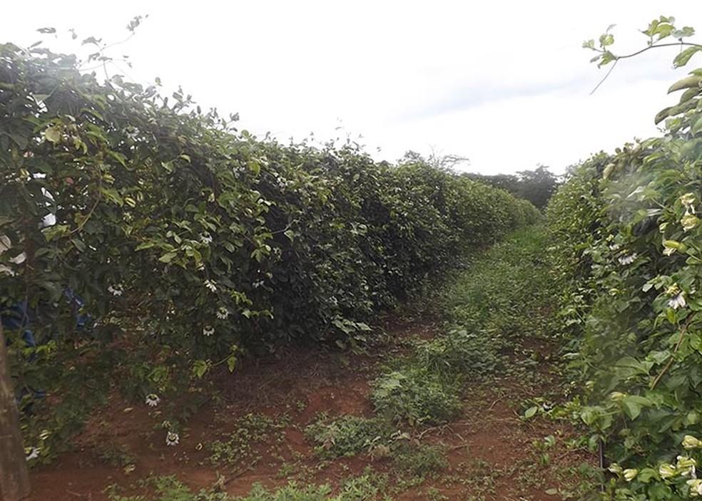 Plantação de maracujá — Foto: Alessandra Vale