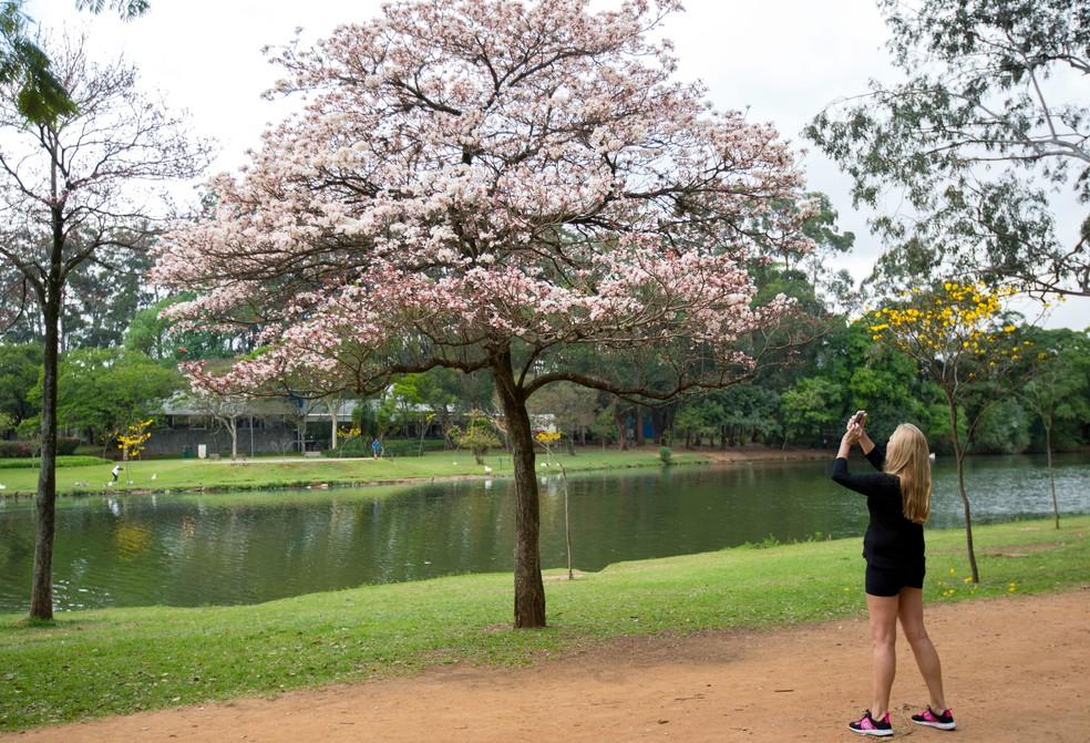 Mulher tira foto de ipê no Parque Ibirapuera em tarde com sol no primeiro dia de setembro (Foto: Bruno Rocha/Fotoarena/Estadão Conteúdo)