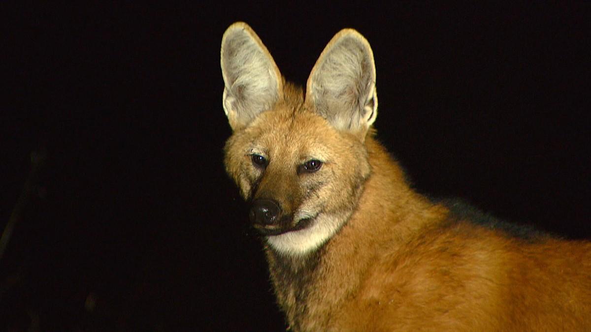Lobo-guará é protegido da extinção na Serra da Canastra, em Minas