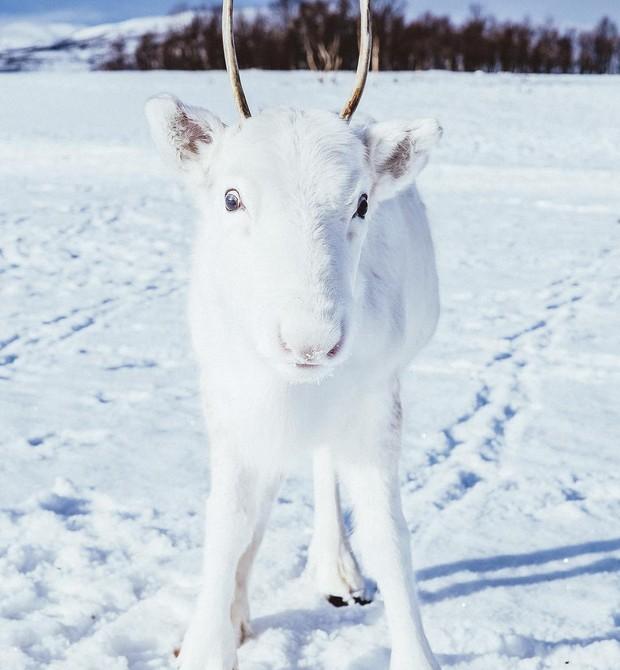 Rara rena branca  (Foto: Reprodução / Instagram / Mads Nordsveen)