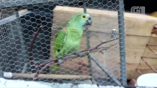 Papagaio que 'avisou' da chegada de policiais em ponto de tráfico é transferido para o Zoobotânico