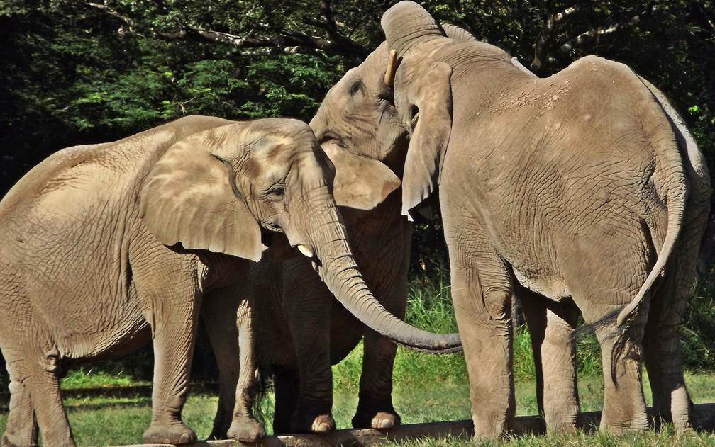 Herbívoros grandes, como os elefantes, são uma das espécies ameaçadas   — Foto: Suziane Fonseca/Zoo BH