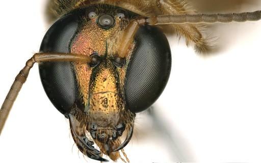 Esta abelha do Panamá é macho e fêmea ao mesmo tempo; entenda