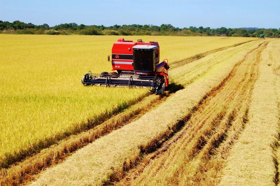 Colheita do arroz: safra do alimento deverá ser 6,5% maior neste ano — Foto: Rui Ragagnin/Irga