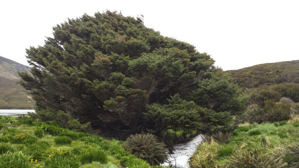 O que a árvore mais solitária da Terra pode revelar sobre a humanidade