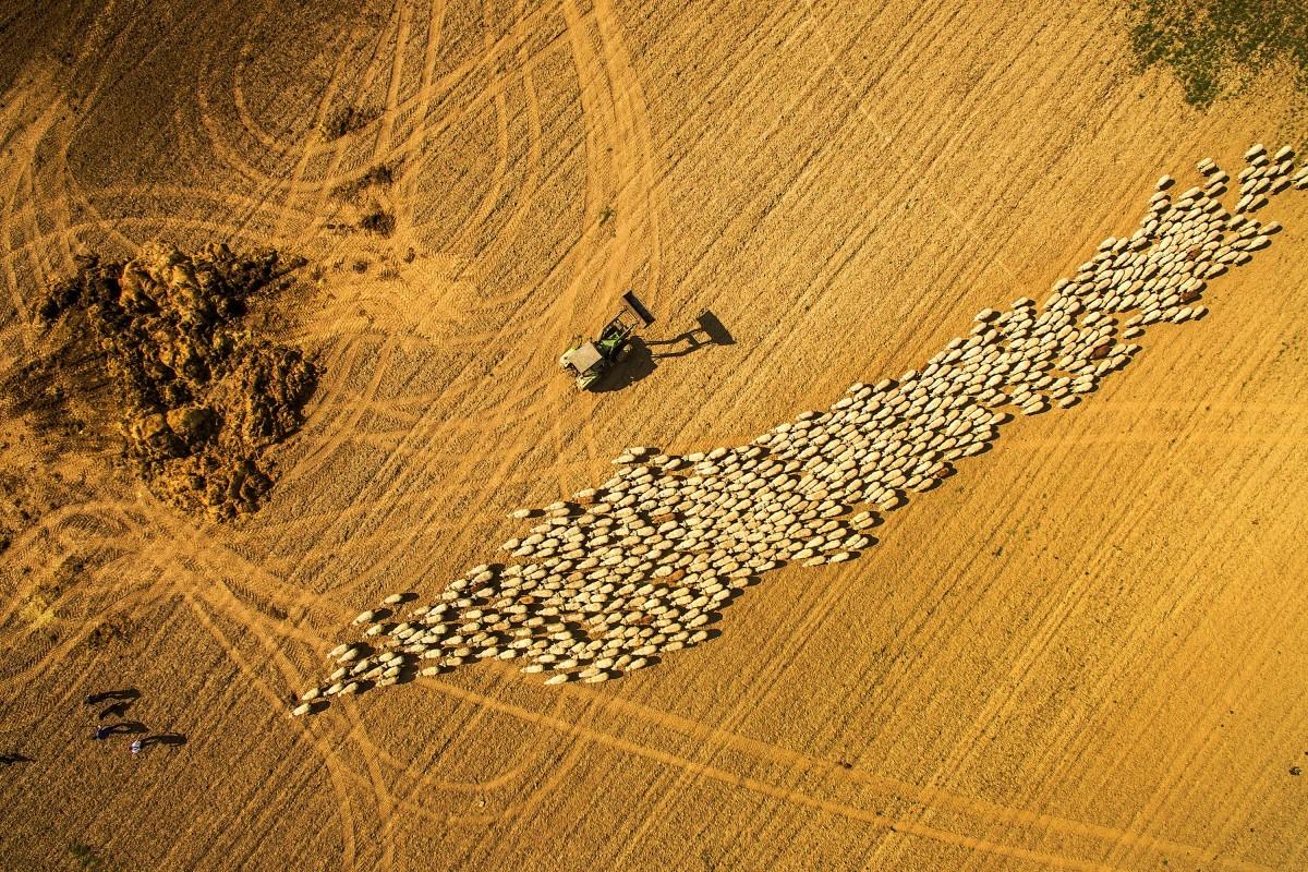 """""""Flock of sheep walk"""", fotografia do usuário photographersWorld (Foto: Reprodução/Dronestagram)"""