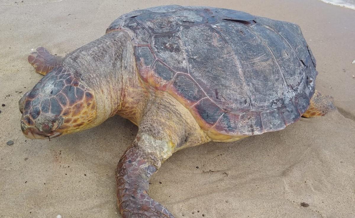 Morador do subúrbio de Salvador encontra tartaruga morta em Praia Grande; animal apresentava ferimentos