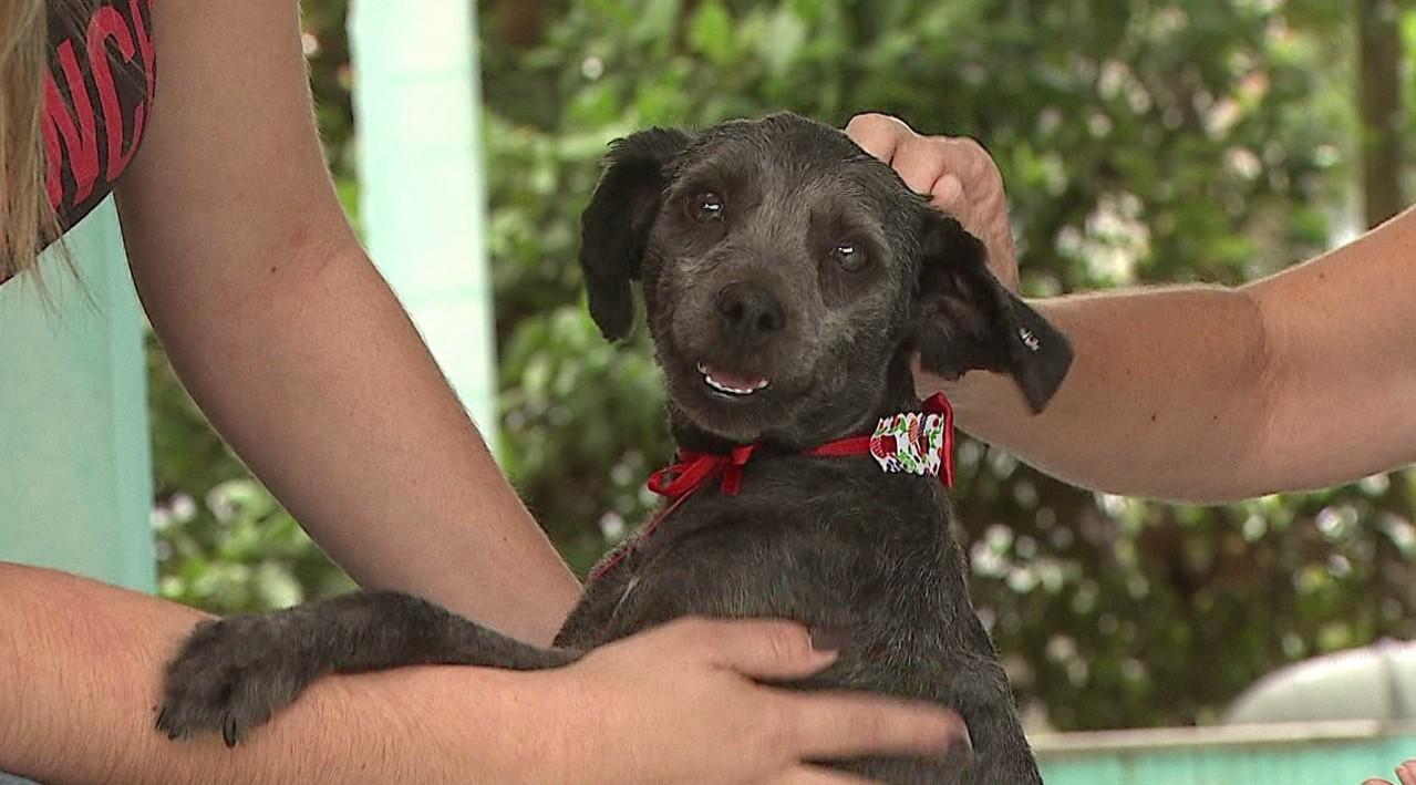 Cadela é adotada após ser gravada com focinho amarrado por tecido e acorrentada, em Ponta Grossa