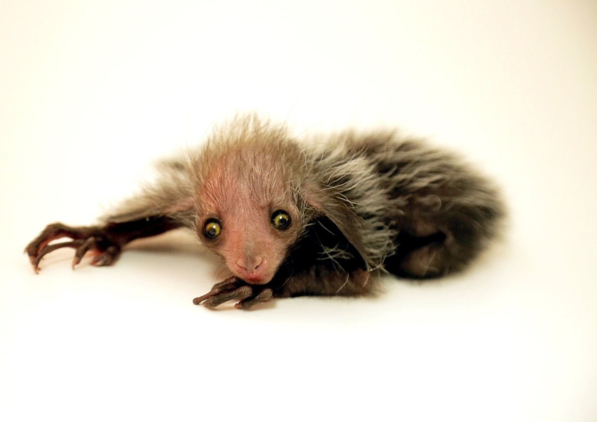 Aie-aie nascido em zoológico recebeu o nome de um personagem de Harry Potter (Foto: Denver Zoo)