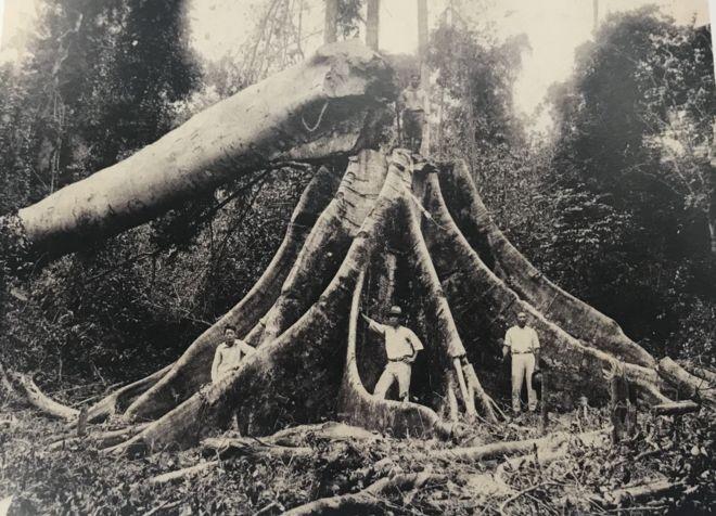 Só 3% da madeira derrubada na Mata Atlântica para dar lugar a fazendas foi aproveitada; em geral, matas eram incendiadas e transformadas em pastos para prepará-las para a agricultura, assim como hoje ocorre na Amazônia (Foto: MUSEU HISTÓRICO DA IMIGRAÇÃO JAPONESA NO BRASIL via BBC)