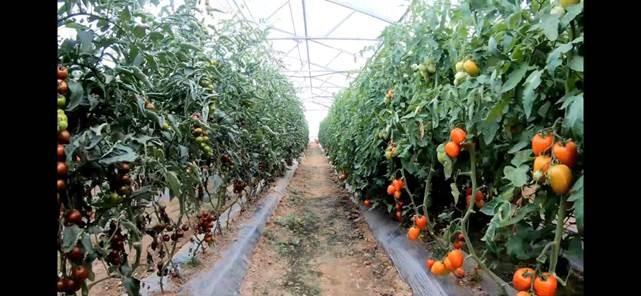 Biofábrica de tomate da Crop Biotecnologia em Botucatu (SP) (Foto: Crop Biotecnologia)