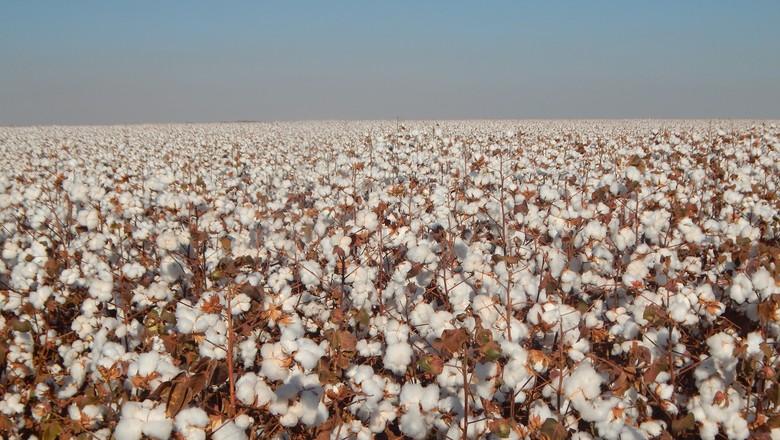agricultura-algodao-campo (Foto: Raphael Salomão/Ed. Globo)