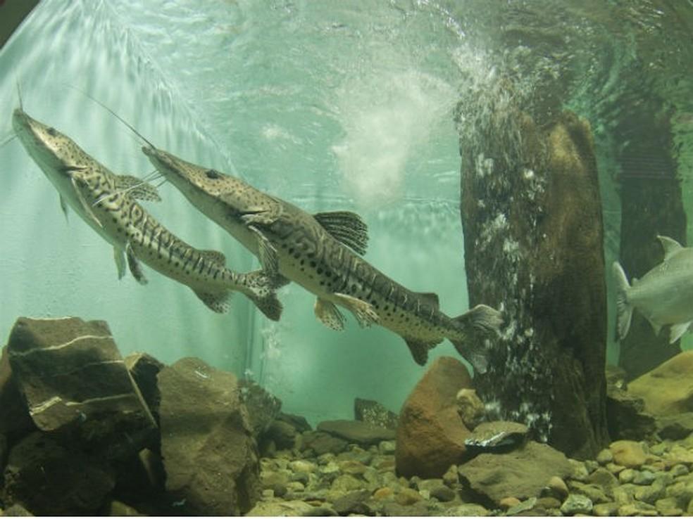 Peixes do Aquário Municipal de Toledo — Foto: Prefeitura de Toledo/Divulgação