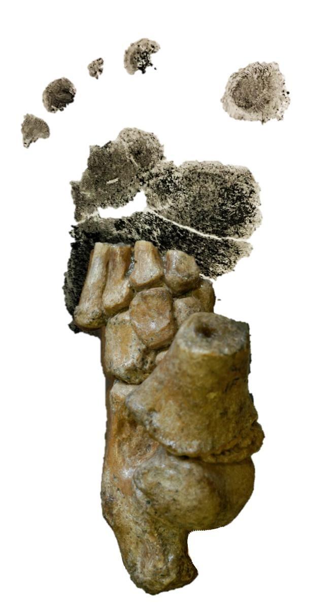 Os ossos do pé da criança sugerem que ela passava bastante tempo no topo de árvores em busca de proteção (Foto: Jeremy DeSilva)