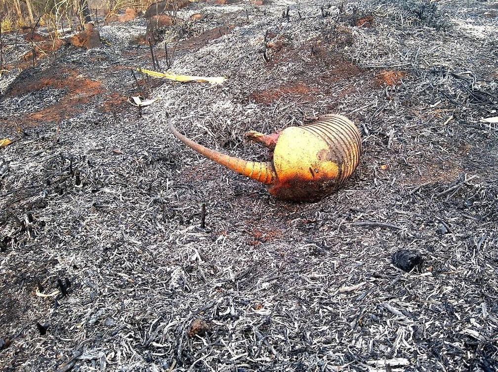 Em meio as cinzas, foi encontrado um tatu morto pelas chamas — Foto: PMA/Divulgação