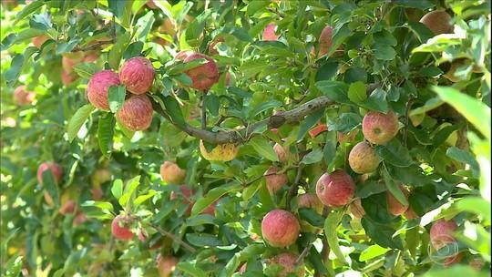 Preço da maçã anima produtores gaúchos