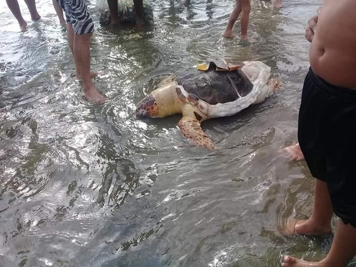 Tartarugas aparecem em estado de decomposição no litoral de SP - Noticias