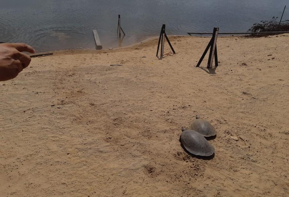 Os quelônios resgatados em Normandia, norte de Roraima, foram soltos no rio Tacutu — Foto: Divulgação/Femarh