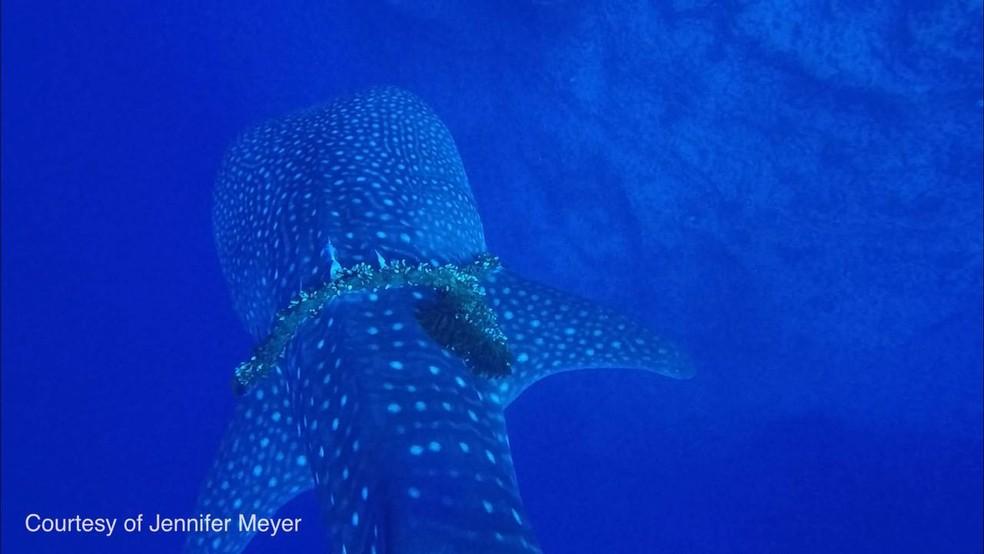 Tubarão-baleia foi visto pelo Departamento de Terras e Recursos Naturais do Havaí com corda estrangulando o corpo (Foto: Jennifer Meyer/Havai DLNR/Facebook)