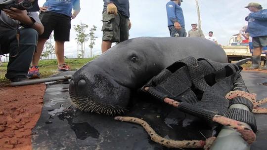 Projeto de preservação de peixes-bois da Amazônia é exemplo de amor à vida