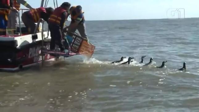 Dez pinguins-de-Magalhães são devolvidos ao mar, em Rio Grande; veja o vídeo - Notícias - Plantão Diário