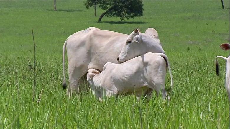 boi-gado-bezerro (Foto: Reprodução/Globo Rural)