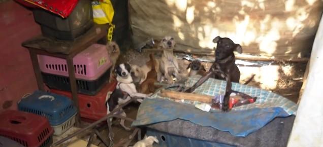 MP de Ilhéus recomenda que animais que eram mantidos presos e acorrentados sejam devolvidos à dona