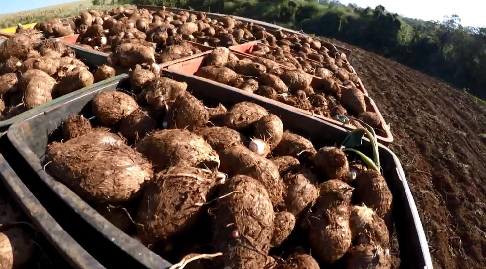 Gengibre e inhame são cultivados lado a lado em Tamarana — Foto: Reprodução/RPC