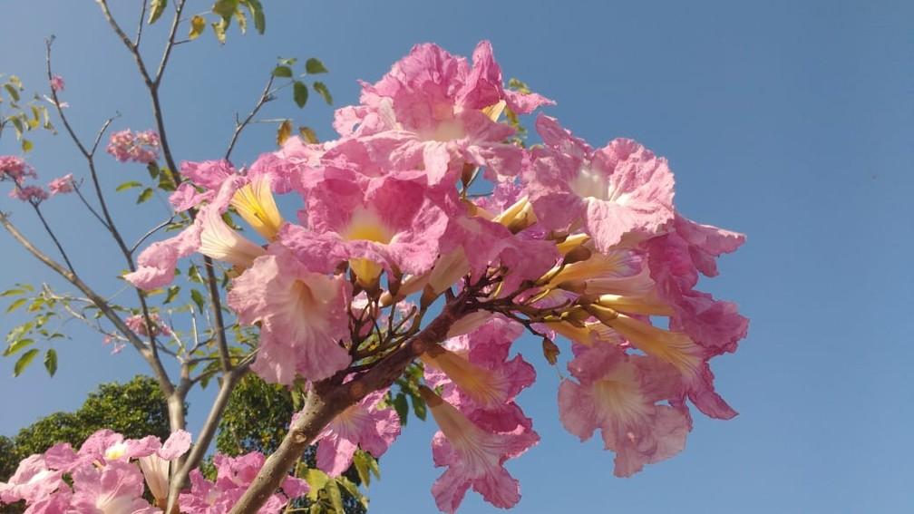 Ipê rosa florido em Porto Velho — Foto: Rilmo Dantas/Rede Amazônica