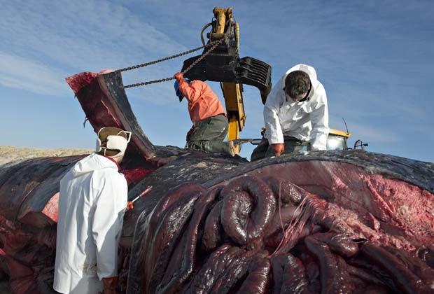 Biólogos preparam transporte de baleias cachalotes encontradas encalhadas em praia da Dinamarca (Fot AFP Photo / Scanpix Denmark / Claus Fisker / DENMARK OUT)
