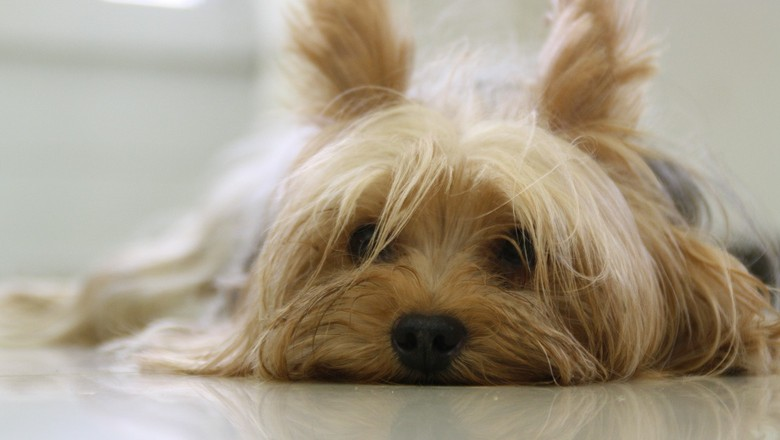 yorkshire-terrier-cachorro-animal-de-estimação (Foto: Pixabay)