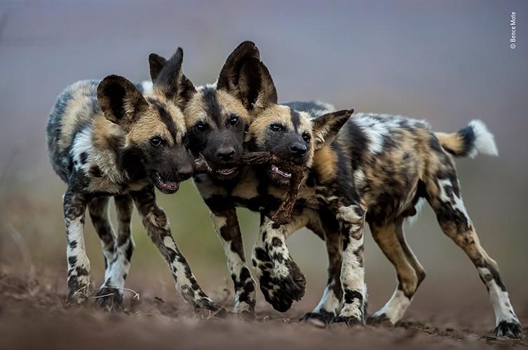 Bence Máté registrou o exato momento em que filhotes de de mabeco brincavam com a perna de um impala, na África do Sul (Foto: Bence Máté)