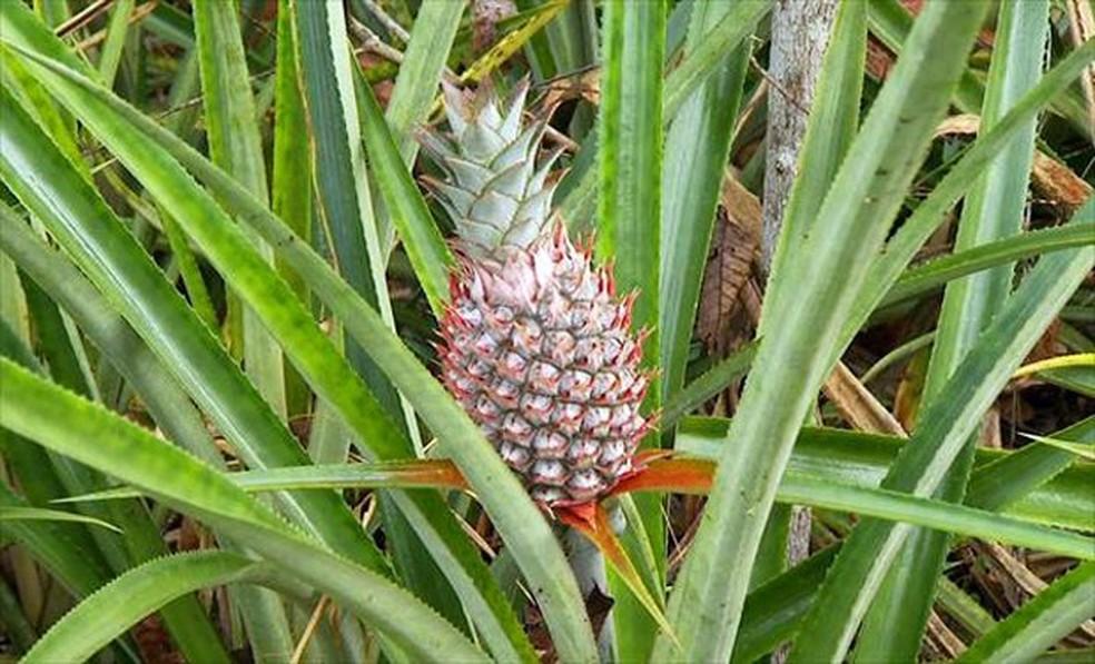 Com origem na América Tropical, fruta é hoje uma das mais populares no mundo — Foto: Arquivo/Terra da Gente