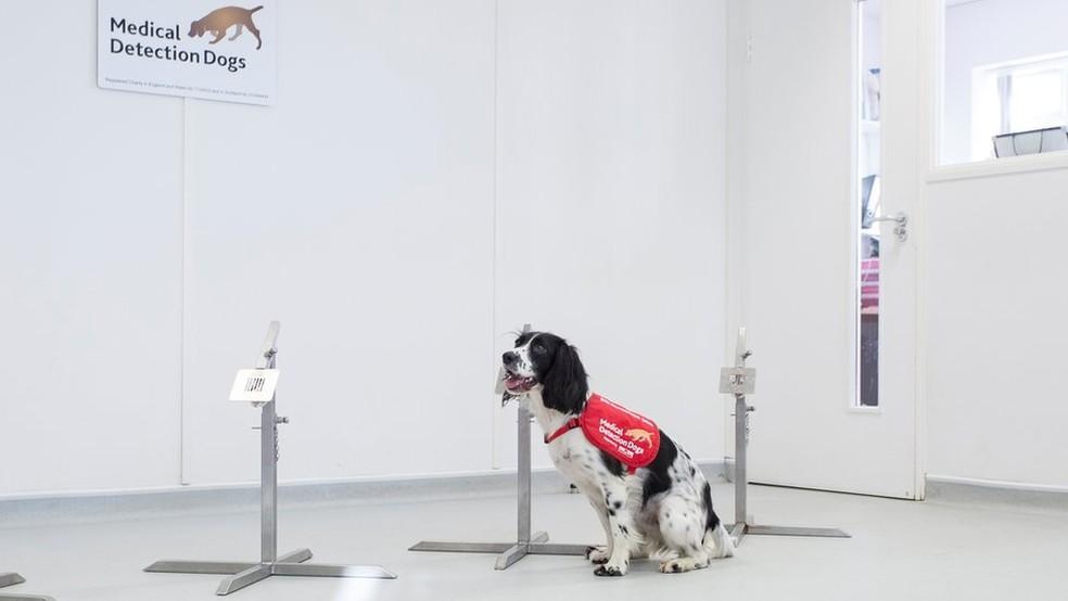 O olfato super sensível de Freya pode ajudar a realizar o primeiro teste de malária não invasivo — Foto: Medical Detection Dogs