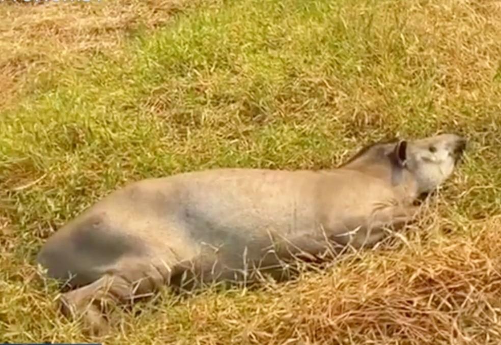 Anta é socorrida por voluntários, no Pantanal de MS. — Foto: Reprodução/TV Morena