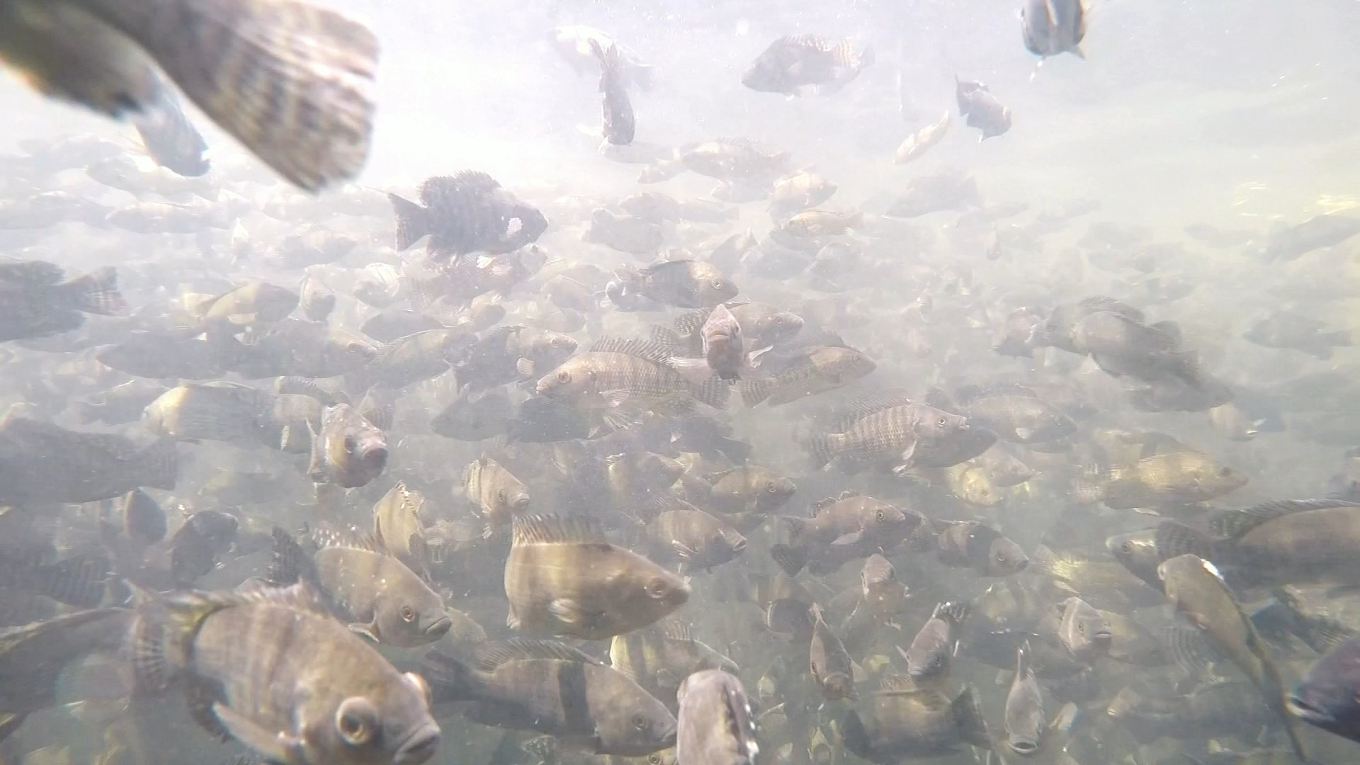 Oferta de cilindros de oxigênio cai e piscicultores precisam alterar logística para entrega de peixes