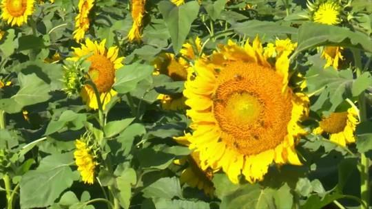 Cultivo de girassóis vira atração no sul de Rondônia