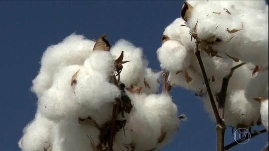 Brasil colhe safra recorde de algodão impulsionada pela mão de obra e tecnologia
