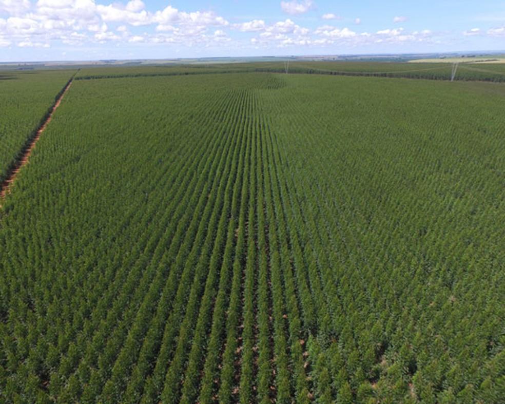 Duratex área florestal celulose — Foto: Duratex/Divulgação