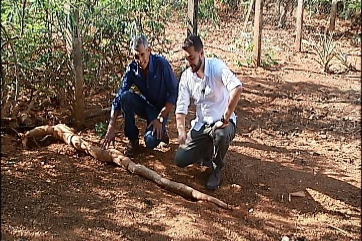 Mandioca com quase 3 metros de comprimento é colhida em propriedade de Araxá - Radio Evangelho Gospel