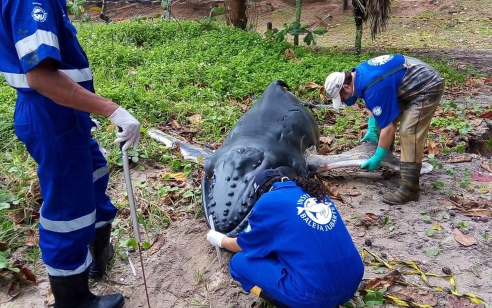 Filhote de baleia jubarte é achado morto em praia de Porto Seguro, na Bahia. — Foto: Arquivo Pessoal